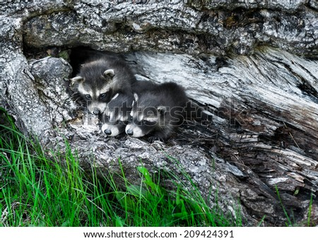 Trio of Baby Raccoons (Procyon lotor) Huddle in Tree - captive animals - stock photo