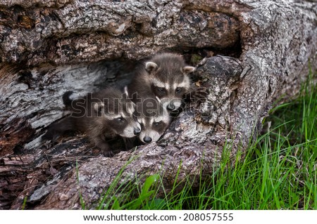 Trio of Baby Raccoons (Procyon lotor) in Downed Tree - captive animals - stock photo