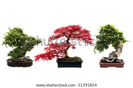 Trio of bonsai trees isolated on a white background. - stock photo