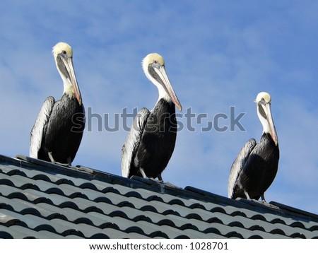 Trio of Florida Pelicans (aka Common Pelican, American Brown Pelican, and Eastern Brown Pelican) - stock photo