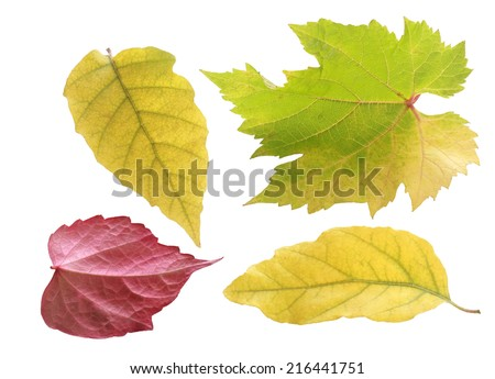 Trio of pretty pastel colored autumn leaves in green and yellow in different shapes with one red leaf viewed on its underside, isolated on white - stock photo