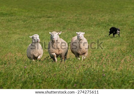 Trio of Sheep Herded in by Stock Dog - dog purposely out of focus - stock photo