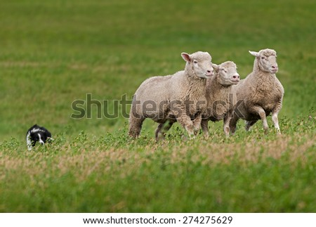 Trio of Sheep Led over Hill by Stock Dog - stock photo
