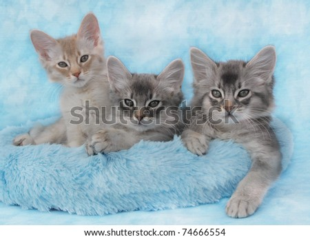 Trio of Somali kittens inn a blue basket - stock photo