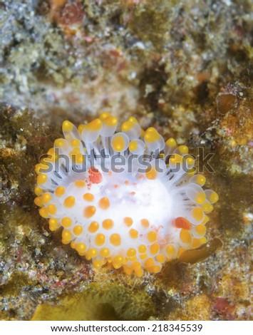 Triopha catalinae (Catalina triopha) (aka clown nudibranch) off Anacapa Island, CA - stock photo