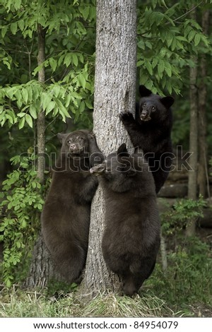 Triple Threat.  Three black bear cubs (Ursus Americanus), one black and two brown in color, are poised to climb the closest tree to safety. - stock photo