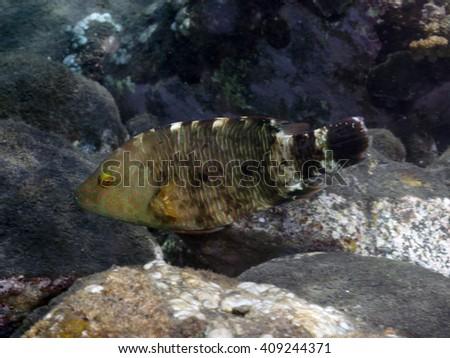 Tripletail wrasse in Bali sea, Indonesia - stock photo