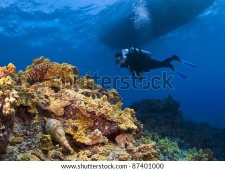 Triton Trumpet and Scuba Diver in  Hawaii - stock photo