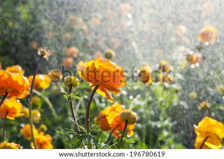 Trollius watering - stock photo