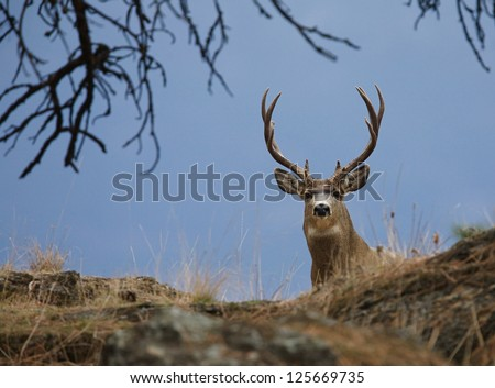 Trophy Buck, Mule Deer Hunting Colorado Utah Montana Idaho Washington Wyoming California Nevada Arizona New Mexico big game - stock photo