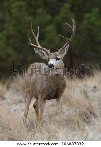 Trophy-class Mule Deer Buck in light snowfall, against a backdrop of Ponderosa Pines - stock photo