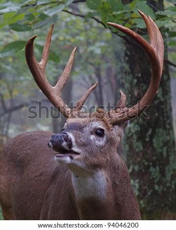 Trophy Class Whitetail Buck, Lip Curling - stock photo