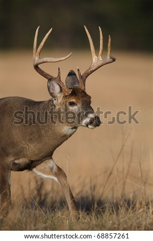 Trophy-class Whitetail Deer, close-up of a 9 point buck walking through hay field in the Appalachian Mountains; white tail / white-tail / white tailed / whitetailed / white-tailed - stock photo