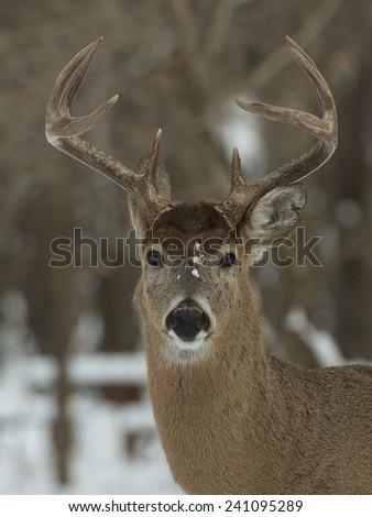 Trophy Deer - stock photo