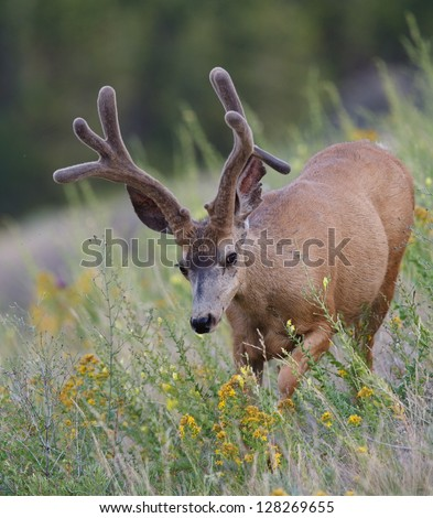 Trophy Mule Deer Buck Stag with drop tine in velvet antlers in habitat with yellow wild flowers in the Rocky Mountains in Colorado near Denver wildlife & nature photography - stock photo