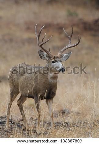 Trophy Mule Deer Buck standing alert in prairie habitat - stock photo