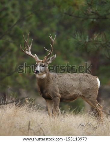 Trophy Non-typical Mule Deer buck stag in meadow with evergreen pine tree forest background Montana Colorado Nevada Wyoming Utah Idaho Washington Oregon California big game archery bow hunting season - stock photo