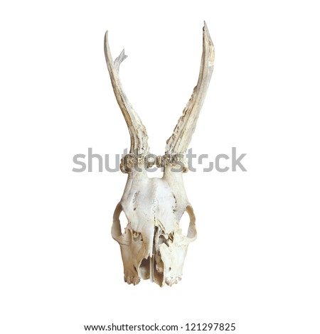 trophy of male roe deer ( capreolus capreolus ) isolated over white background - stock photo