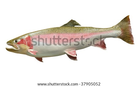 Trophy Rainbow Trout isolated with clipping path - stock photo