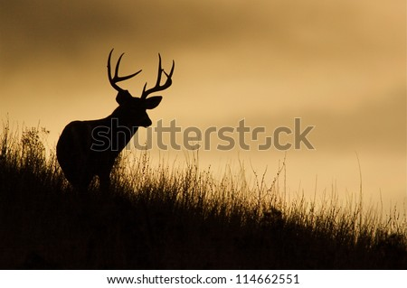 Trophy White-tailed Buck Deer silhouette; midwestern deer hunting, midwest Whitetails / White tail / White-tail / Whitetailed / White tailed - stock photo