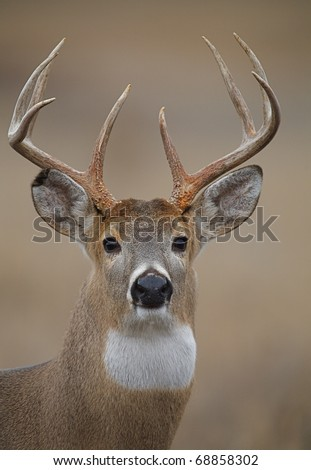 Trophy Whitetail Buck Deer, isolated portrait - stock photo