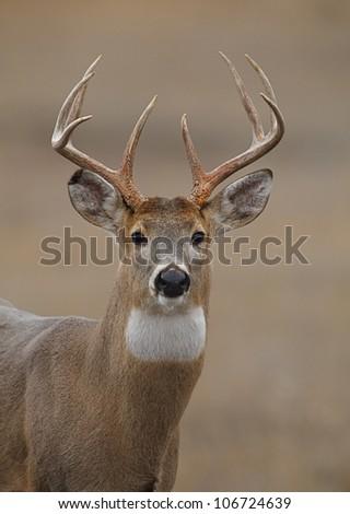 Trophy Whitetail Buck Deer Portrait, showing full bust - stock photo