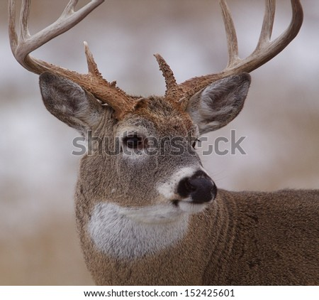Trophy Whitetail Buck Deer Stag, portrait, midwest deer hunting big game season for White Tailed deer in midwestern states