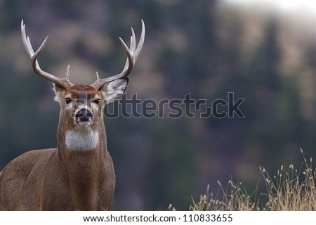 Trophy Whitetail Buck Deer Stag, portrait, palouse prairie grassland with evergreen forest in background, Montana deer hunting season; white-tailed, white-tail, white tailed, whitetailed,  white tail - stock photo
