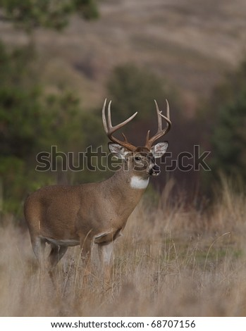 Trophy Whitetail Buck Deer standing alert in habitat - stock photo
