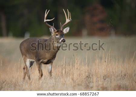 Trophy Whitetail Buck deer walking through hay field in the Appalachian Mountains, Smoky Mountains National Park, Tennessee / North Carolina;  white-tailed / white-tail / white tailed / whitetailed - stock photo