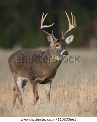 Trophy Whitetail Buck deer walking thru hay field in the Appalachian Mountains, Smoky Mountains National Park, Tennessee / North Carolina; white-tailed / white-tail / white tailed / whitetailed - stock photo