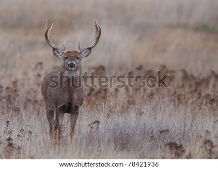 Trophy Whitetail Buck in Prairie Habitat - stock photo