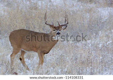 Trophy Whitetail / white tailed Buck Deer Stag in field with winter snow; midwest / midwestern White-tailed deer hunting; white tail / white-tail / whitetailed - stock photo