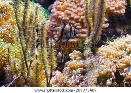 tropical aquarium with Pterapogon kauderni fish and sponges - stock photo