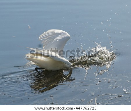 Tropical Bird in the wild/Great Egret/Ardeo Alba in nature striking for food - stock photo