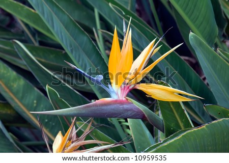 Tropical Bird of Paradise in a field of green leaves - stock photo