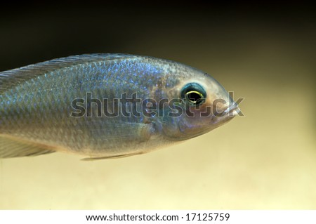 tropical blue cichlid from lake malawi, africa