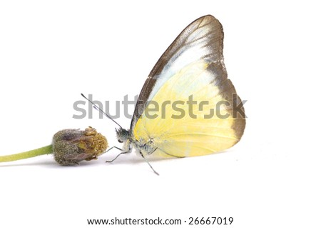 Tropical butterfly feeding with yellow flower - stock photo
