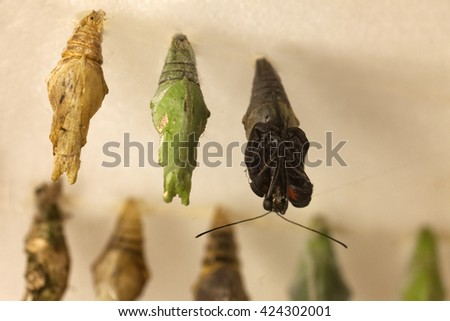 Tropical butterfly hatching from a cocoon - stock photo