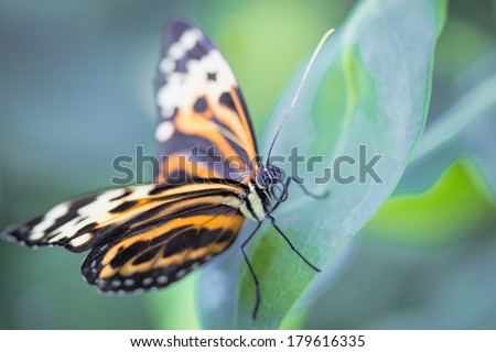 Tropical butterfly (Heliconius hecale zuleika) - stock photo