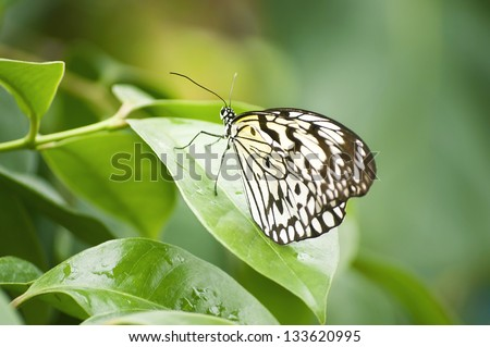 Tropical butterfly resting on green leaves - stock photo