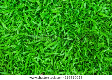 Tropical carpet green grass background - stock photo