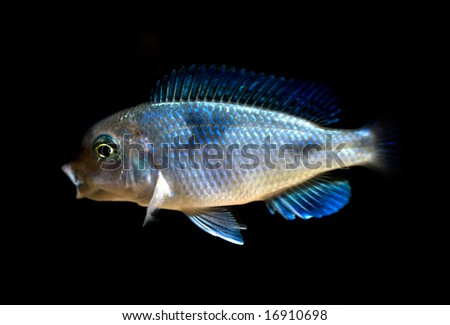 """tropical cichlid fish """"blue dolphin"""", from lake malawi, Africa - stock photo"""