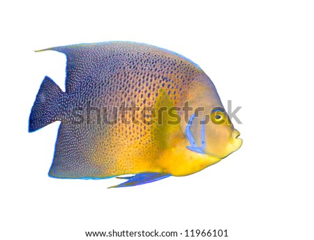Tropical coral fish angelfish isolated on white - stock photo