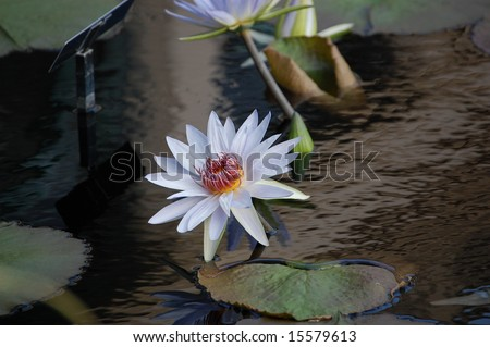 Tropical Day Flowering Water Lily 5