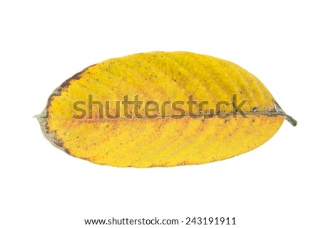 Tropical dry leaf isolated on white background - stock photo
