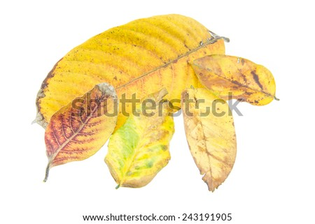 Tropical dry leaves isolated on white background