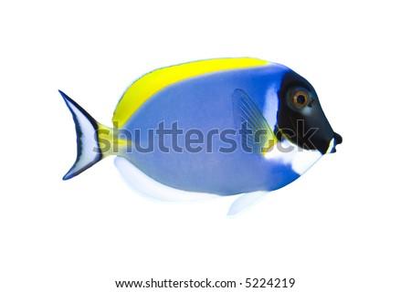 Tropical Fish Acanthurus leucosternon (Blue parrotfish) isolated on white - stock photo