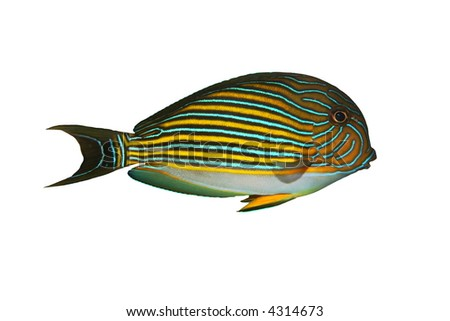 Tropical Fish Acanthurus lineatus isolated on white - stock photo