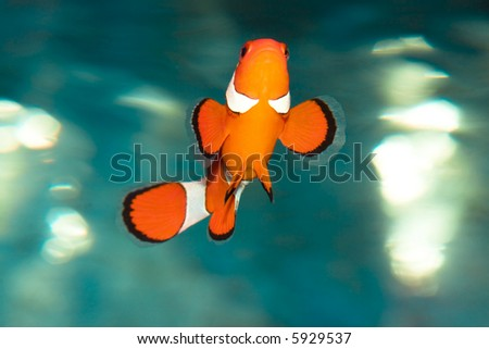 Tropical fish Amphiprion Ocellaris (clownfish)